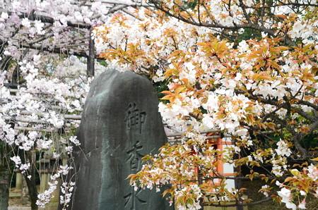 御香水の碑と桜