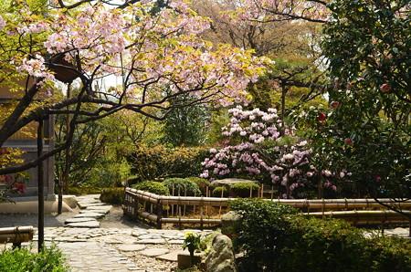 石楠花と桜咲く宝泉院