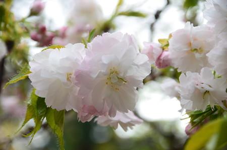 咲き始めの八重桜
