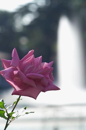 薔薇と噴水 1