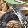 カラスヘビ(シマヘビ黒)3670