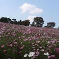 Photos: コスモスの丘