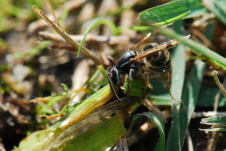 スズメバチ科 クロスズメバチ