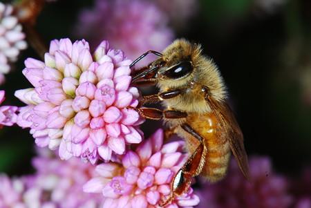 ミツバチ科 セイヨウミツバチ