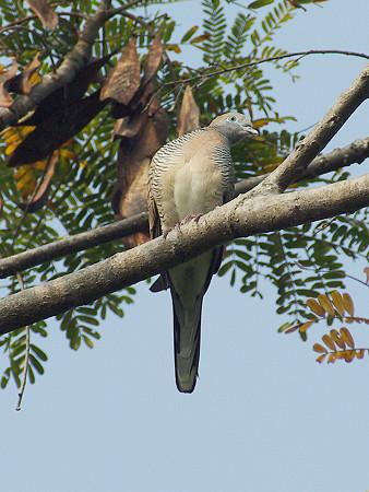 チョウショウバト(Peaceful Dove or Zebra Dove) IMGP49781_R