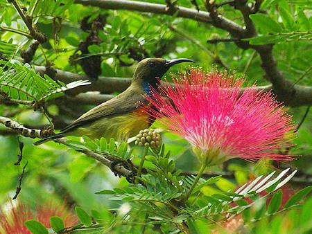 キバラタイヨウチョウ(Olive-backed Sunbird) IMGP49916_R