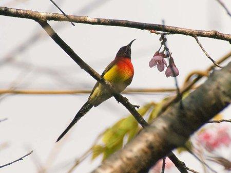 ルリオタイヨウチョウ(Gould's Sunbird) IMGP56693_R