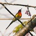 写真: ルリオタイヨウチョウ(Gould's Sunbird) IMGP56693_R