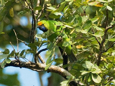 キビタイコノハドリ(Golden-fronted Leafbird) IMGP57309_R(2)