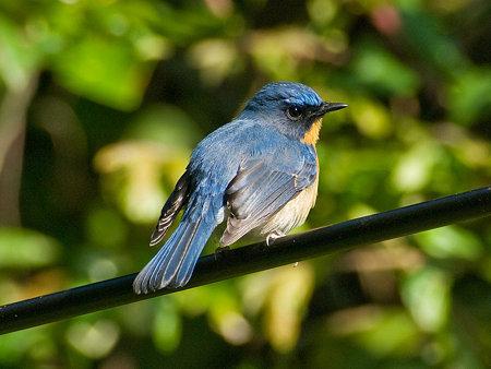 ミヤマヒメアオヒタキ(Hill Blue Flycatcher) IMGP102002_R