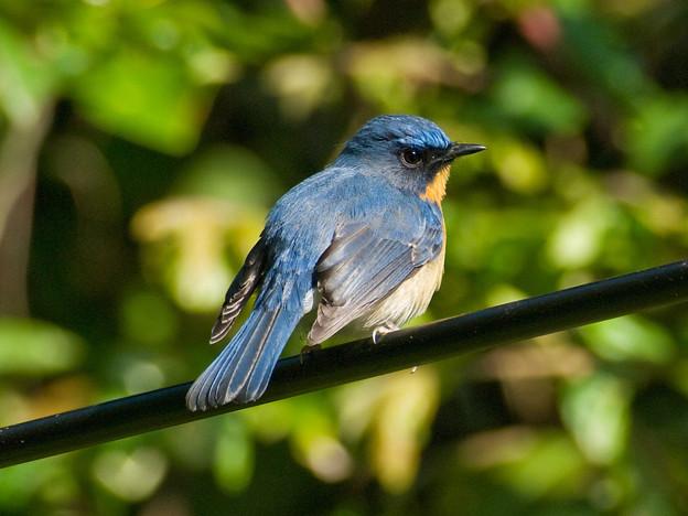 Photos: ミヤマヒメアオヒタキ(Hill Blue Flycatcher) IMGP102002_R