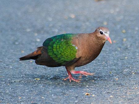 キンバト(Emerald Dove) IMGP103900_R2
