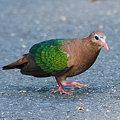 Photos: キンバト(Emerald Dove) IMGP103900_R2