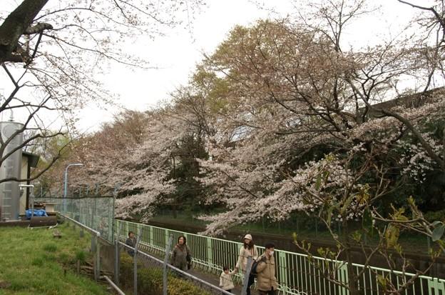 神田川沿いに咲く桜