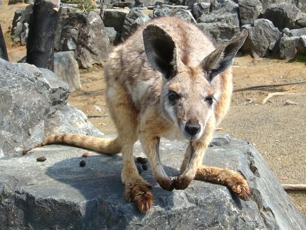 イエローフーティッド・ロックワラビー Yellow-footed Rock-wallaby
