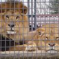 Photos: ライオン Lion