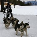 写真: 010 浅間高原ウィンターフェスティバル犬ぞり1