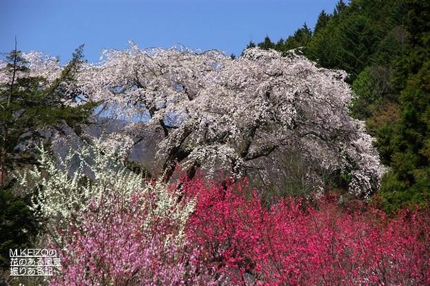 黒船の桜 (12)