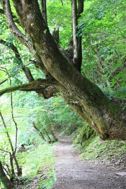 大木のある小径