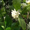 写真: 白き香 沈丁花