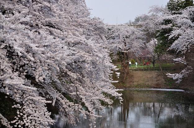 弘前城の桜(弘前公園) _15