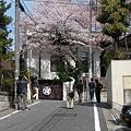写真: 桜を見に行く