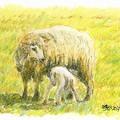 Photos: 20140415牧場の羊