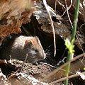 写真: エゾヤチネズミ