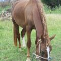 ひたすら草を食べる馬(波照間島)