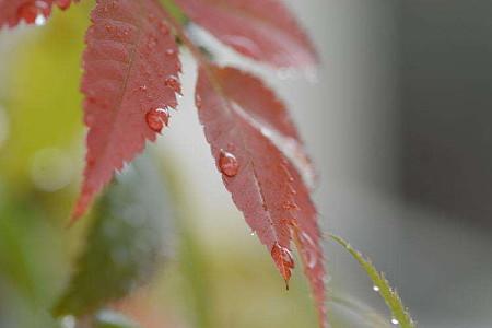 紅葉の水滴