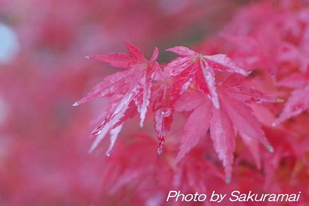 ヌーボーのような紅葉