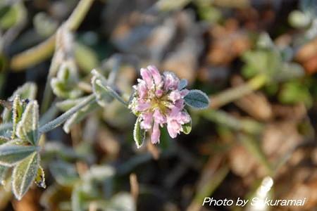 霜をかぶった花