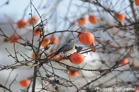 柿木の鳥・・・どれを食べるか?