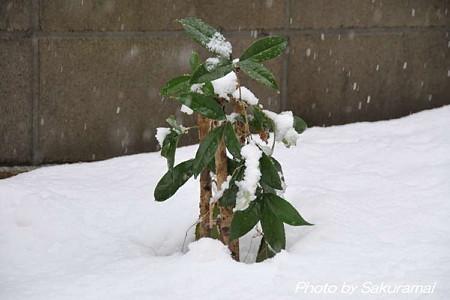 雪に埋まるギンモクセイ