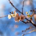 写真: 不断桜