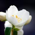 まだ咲いていたムクゲ?