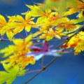 Photos: 黄色モミジ