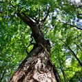 ブナの木~新緑