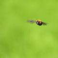 クマバチ飛行~正面