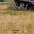 Photos: 麦と小屋