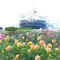 Photos: 薔薇~山下公園