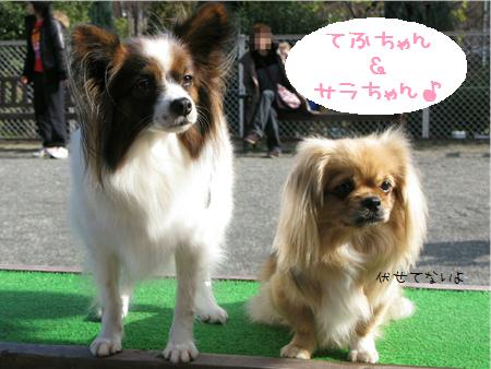 パピヨン・てふちゃん&チベスパ・サラちゃん