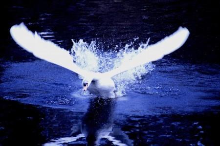 健民公園・池の白鳥(1)  (ZooMo掲載)
