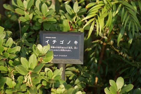 苺の木(イチゴノキ)