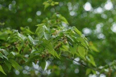 椋の木(ムクノキ)