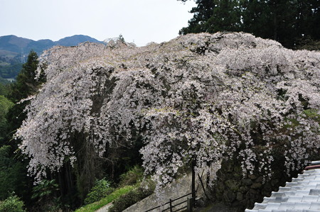 瀧蔵神社の権現桜8