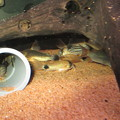 Photos: 20140513 60cmコリドラス水槽のコリドラス達