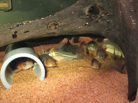 20140616 60cmコリドラス水槽のコリドラス達