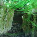 Photos: 20140702 60cmエビ水槽の稚エビ