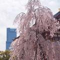 枝垂桜とハルカス